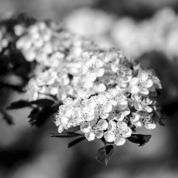 Baumblüte in schwarzweiss
