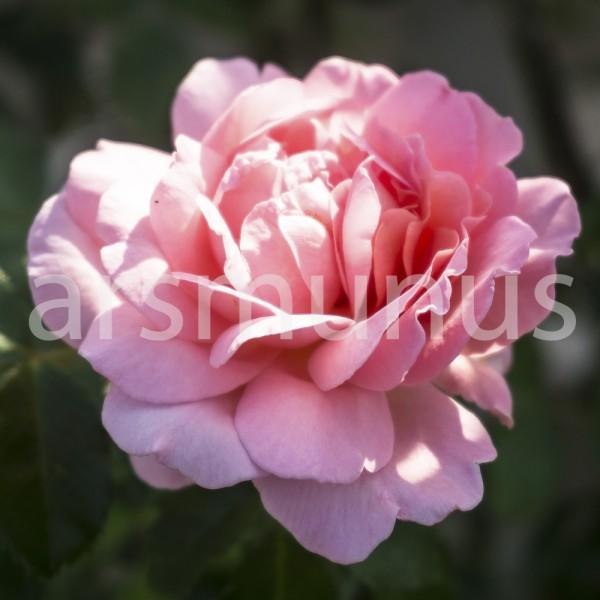 Rosa Rose gefüllt