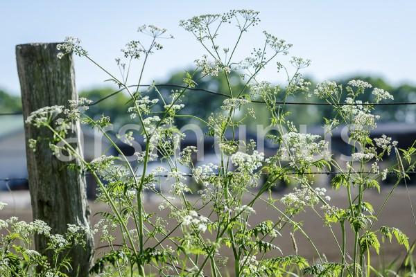 Wiesenkerbel - Bild 2