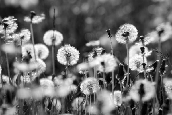 Wiese mit Pusteblumen - schwarzweiss
