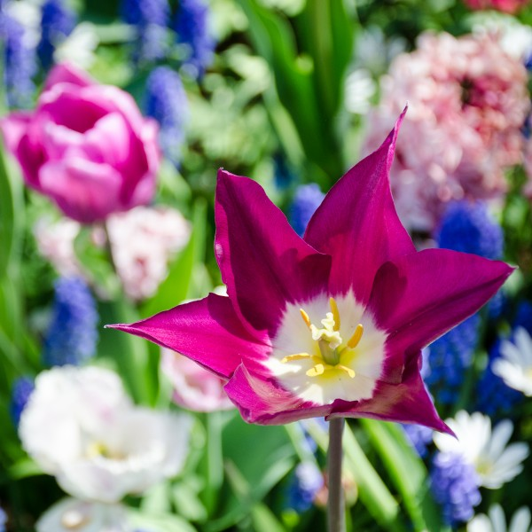 Frühlingsblumen mit dunkelroter Tulpe