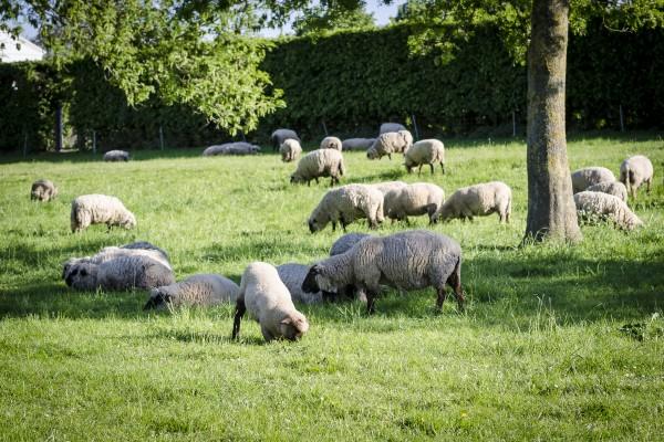Grasende Schafe im Schatten eines Baumes