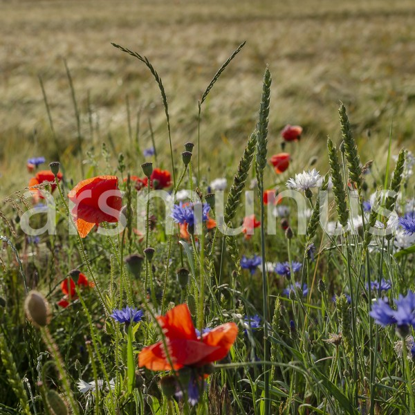 Klatschmohn und Kornblumen und Margeritten im Roggenfeld- Bild 19