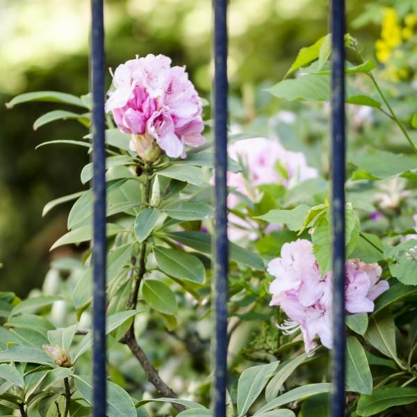 Rhododendron hinter Gittern