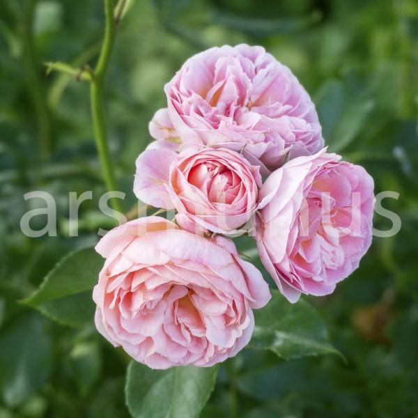 Dolde rosa Rosen gefüllt