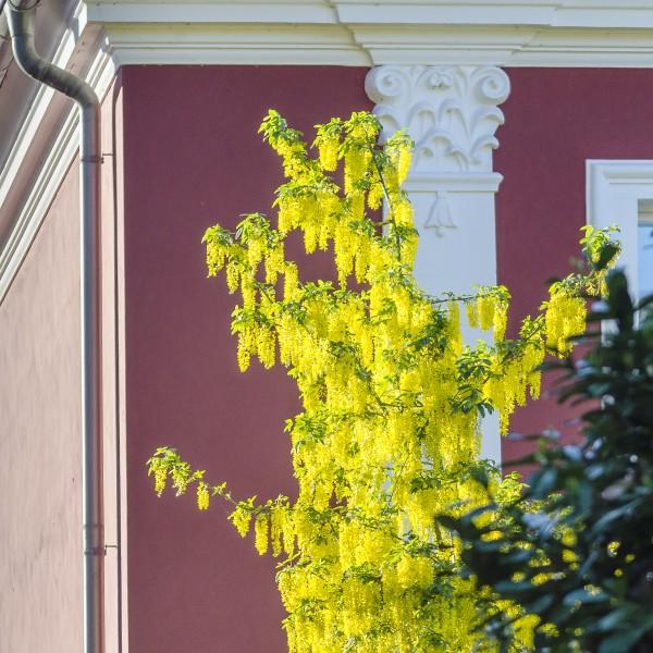 Goldregen vor Stuckfassade