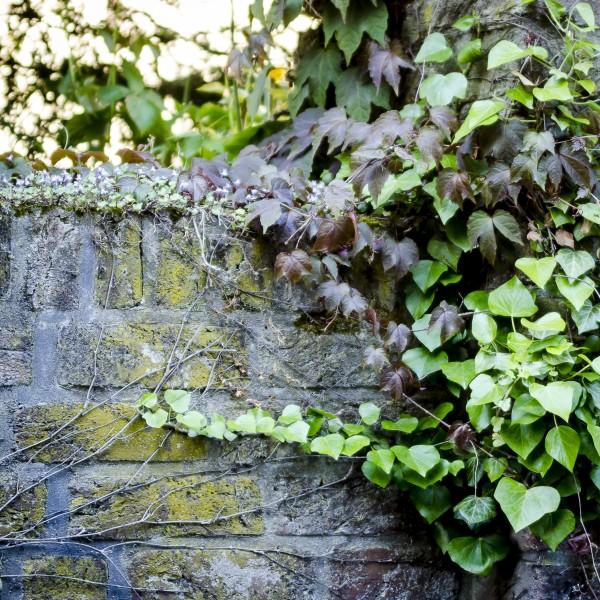 Alte bewachsene Steinmauer