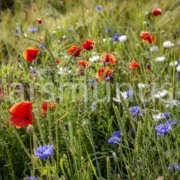 Klatschmohn, Kornblumen und Margaritten im Roggenfeld - Bild 21