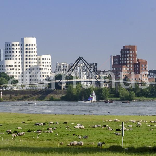 Rheinwiesen mit grasenden Schafen - Blick zum Medienhafen Düsseldorf