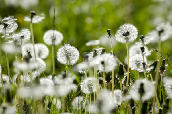 Wiese mit Pusteblumen - Bild 2