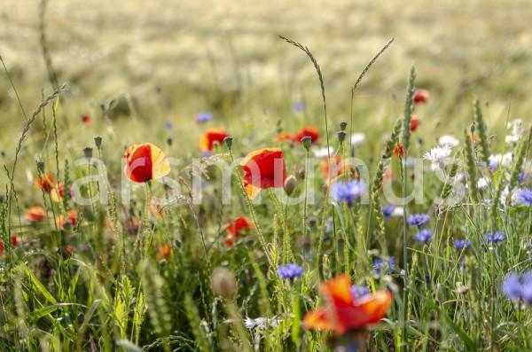 Klatschmohn, Margaritten und Kornblumen im Roggenfeld - Bild 18