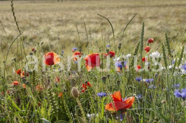 Kornblumen, Klatschmohn, Margaritten im Roggenfeld- Bild 20