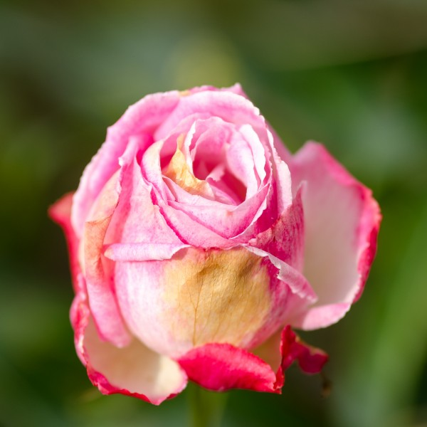 Rose weiss-rosa