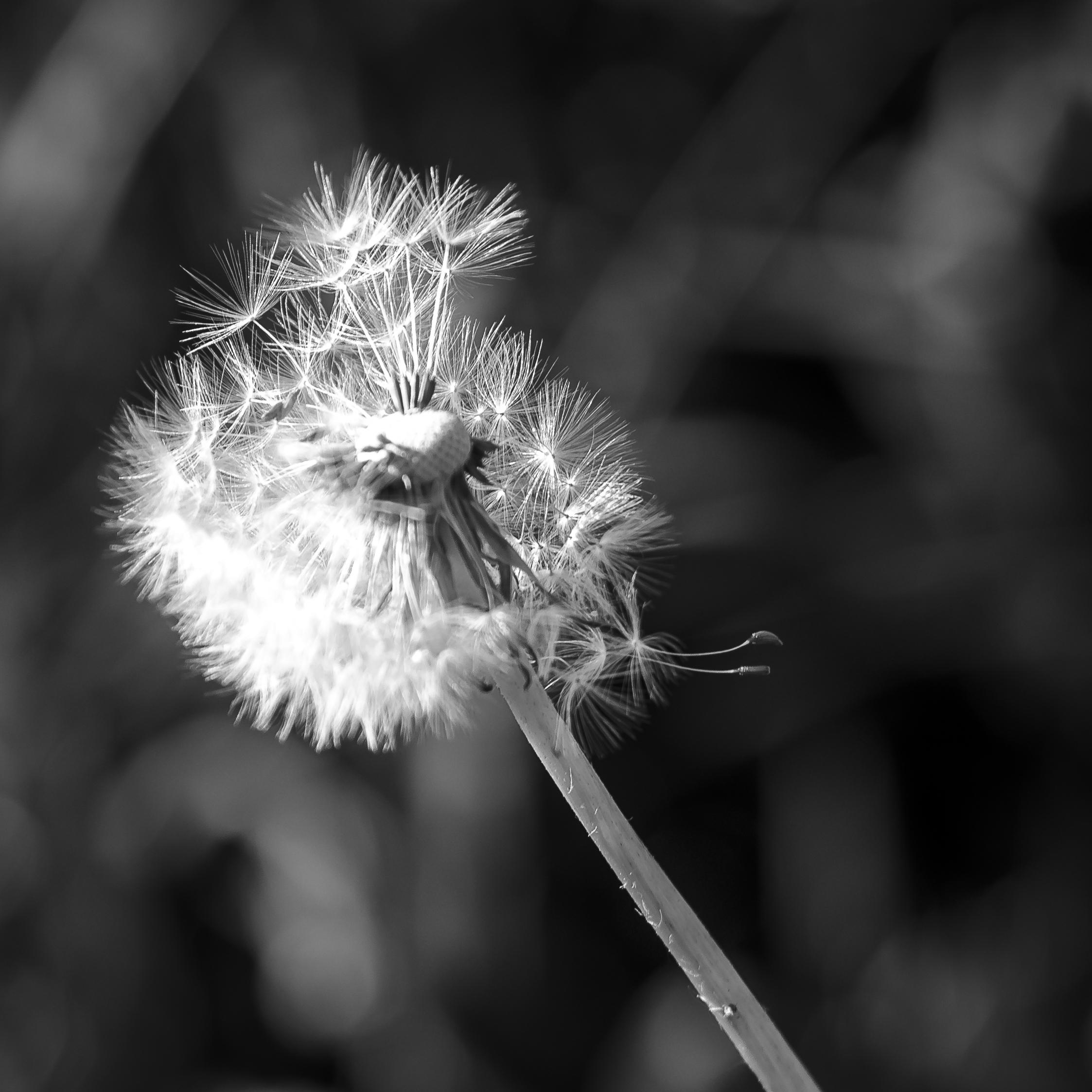 Sich auflösende Pusteblume in schwarz-weiß